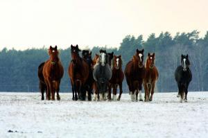 Jungpferdeherde im Winter, Foto: Katrin Riegel
